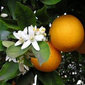 オレンジスイート